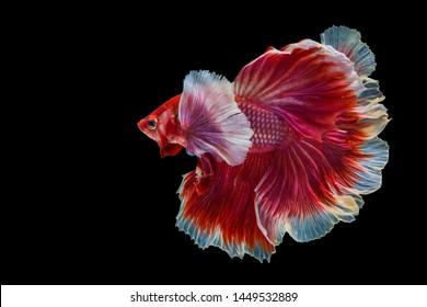 Rhythmic of Betta fish,Siamese fighting fish, Betta splendens Pla-kad Thai, popular aquarium fish.Big ears dumbo Red and white half moon long tail Betta Fighting on black background with clipping path