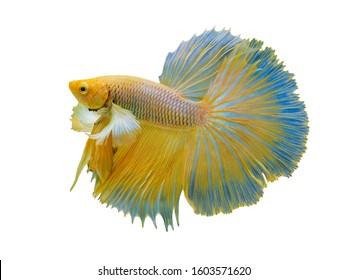 Rhythmic of Betta fish,Siamese fighting fish, Betta splendens Pla-kad Thai, popular aquarium fish.Big ears dumbo Golden yellow halfmoon long tail Betta Fighting on White background with clipping path