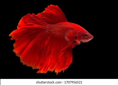 Rhythmic of Betta fish,Siamese fighting fish, Betta splendens Pla-kad Thai, popular aquarium fish.Big ears dumbo Red half moon long tail Betta Fighting on Black background with clipping path