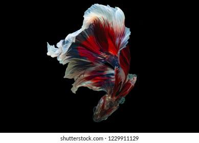 Rhythmic of Betta  siamese fighting fish
