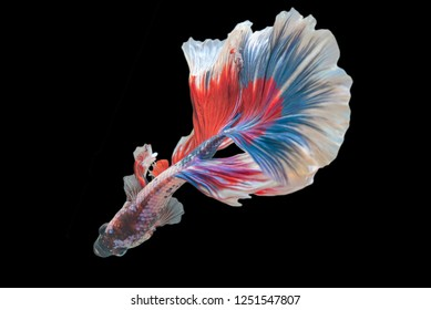 Rhythmic of Betta  siamese fighting fish betta splendens (Halfmoon  long tail fancy Tricolor red,blue,white ),isolated on black background.