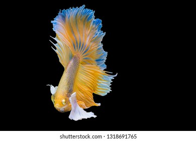 Rhythmic of Betta Siamese fighting fish, Betta splendens Pla-kad  Thai, popular aquarium fish. Big ears dumbo Golden yellow half moon long tail Betta Fighting isolated on  black background.