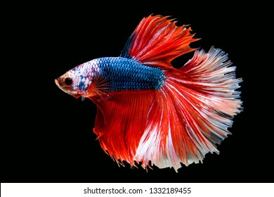 Rhythmic of Betta Siamese fighting fish, Betta splendens Pla-kad  Thai, popular aquarium fish. Big ears dumbo  Blue Red and white half moon long tail Betta Fighting isolated on  black background.