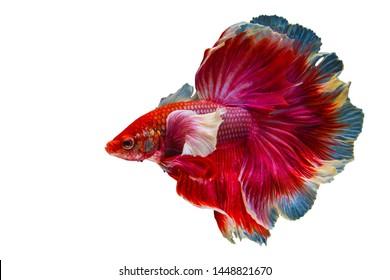 Rhythmic of Betta Siamese fighting fish, Betta splendens Pla-kad ( biting fish ) Thai, popular aquarium fish.Big ears dumbo Red White half moon long tail Betta Fighting motion face isolated on White