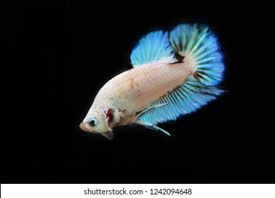 Rhythmic of Fancy Betta with black background. Siamese fighting fish white perl and light blue colors. Multicolor fish.