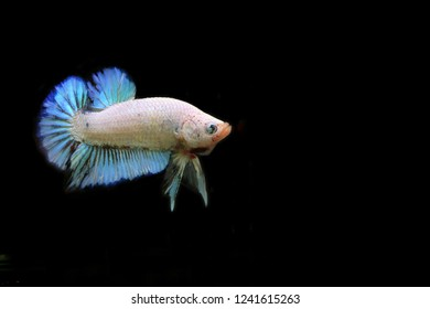 Rhythmic of Fancy Betta with blackground. Siamese fighting fish white perl and light blue colors.