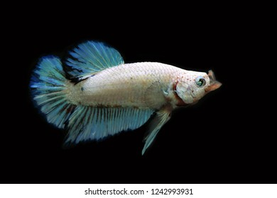 Rhythmic of Fancy Betta fish white perl and light blue colors. Fighting fish multicolors open mouth action.