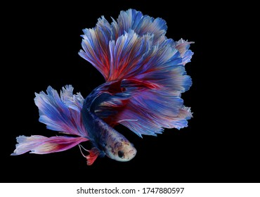 Rhythmic of red blue betta fish, Beautiful movement of Siamese fighting fish, betta splendens (Halfmoon betta ), isolated on black background.