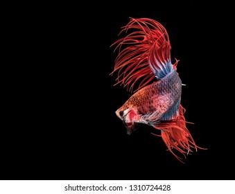 Rhythmic of Red blue half moon long tail Betta, Siamese fighting fish, Betta fighting motion,  Betta splendens Pla-kad (biting fish), Thai national animals, popular fish isolated on black background.