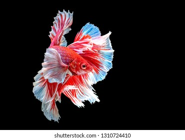 Rhythmic of Red white half moon long tail Betta, Siamese fighting fish, Betta fighting motion,  Betta splendens Pla-kad (biting fish), Thai national animals, popular fish isolated on black background.