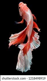 Rhythmic of Siamese fighting fish, Betta fish, Betta splendens (Halfmoon red & white) isolated on black background.