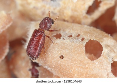 Rhyzopertha dominica commonly as the lesser grain borer, American wheat weevil, Australian wheat weevil, and stored grain borer in damaged grain. It is pest of stored cereal grains worldwide.