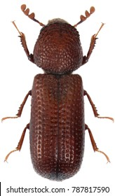 Rhyzopertha dominica commonly as the lesser grain borer, American wheat weevil, Australian wheat weevil, and stored grain borer on damaged grain. It is pest of stored cereal grains worldwide. Isolated