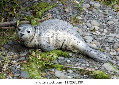 Rialto Beach, Washington / USA - June 3, 2006: A seal pup resting at the mouth Quillayute River at Rialto Beach, Washington, June 3, 2006.