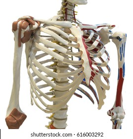 Rib cage of a skeleton. Isolated on white background with clipping path