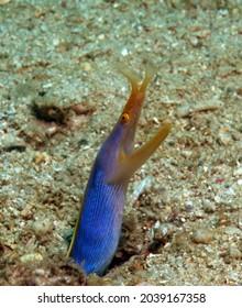 A Ribbon eel on sand Boracay Island Philippines