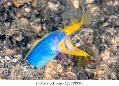 ribbon eel ,Rhinomuraena quaesita, also known as the leaf-nosed moray eel or bernis eel, is a species of moray eel,