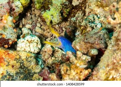 Ribbon eel, Rhinomuraena quaesita, also known as the leaf-nosed moray eel or bernis eel