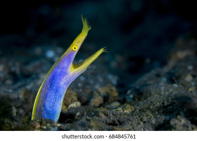 Ribbon eel (Rhinomuraena quaesita) in the Lembeh Strait