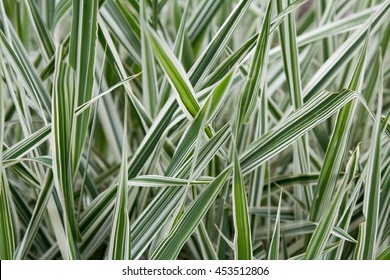 "Ribbon grass - Phalaris arundinacea ""Picta"""