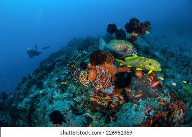 Ribbon sweetlips, many spotted sweetlips, anthias are swimming in Gili, Lombok, Nusa Tenggara Barat, Indonesia underwater photo. There are coral reefs, feather star