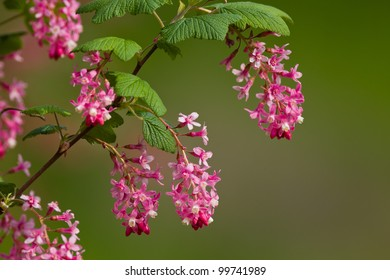 Ribes sanguineum (Flowering Currant or Red-flowering Currant) is a species of currant native to western coastal North America from central British Columbia south to central California.