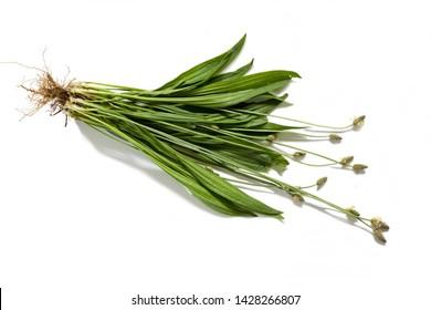 Ribwort (Plantago lanceolata) whole plant-  isolated on a white background