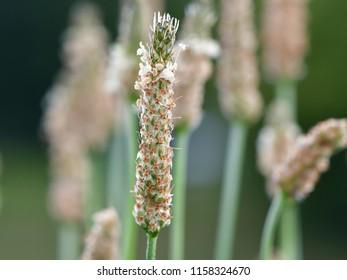 ribwort plantain, narrowleaf plantain,Plantago lanceolata