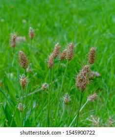 Ribwort plantain, Plantago lanceolata, narrowleaf plantain, Engl