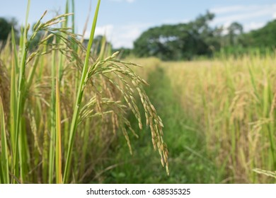 The rice is almost harvest now