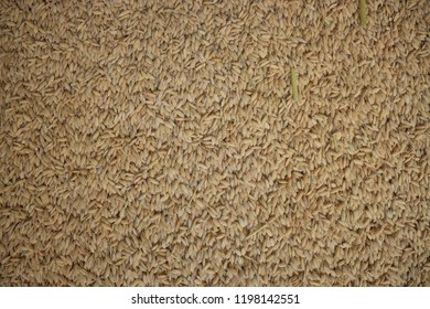 Rice Background Texture