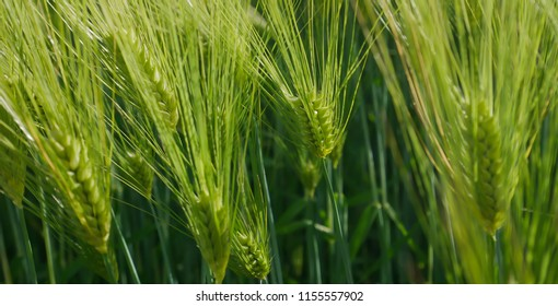Rice barley food of people and animals
