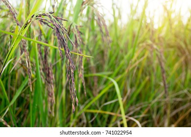 Rice berry (Thai black jasmine rice) in the rice field / farm. Concept : grain, rice, cereal, crop.