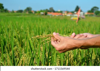 Rice close up in a hand in Asia