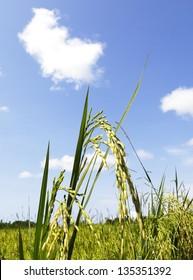 Rice Crop for Harvest