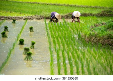 Rice crops are being transplanted by farmers in Vietnam