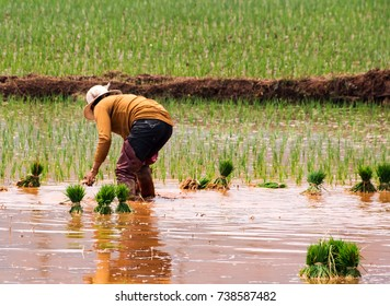 Rice Cultivation - Woman working in a rice field near Kunming, Yunnan province - China