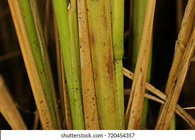 rice disease from fungus, sheath blight