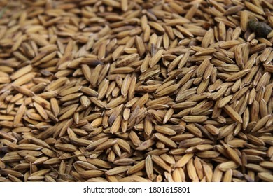 Rice is drying in the open field