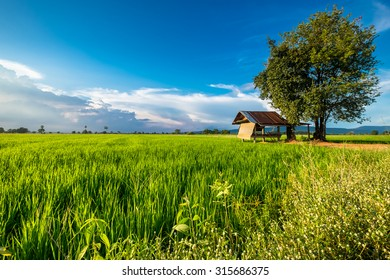 Rice farm with farmer's hut in evening sunlight, countryside of Thailand