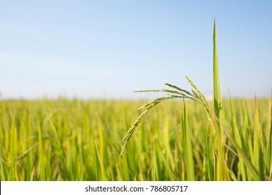 Rice farm- Rice field