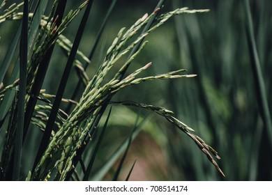 Rice farm- Rice field , rice pants Rice paddy ,Thailand
