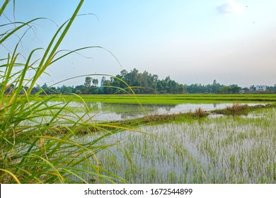 Rice farm in the south of Vietnam