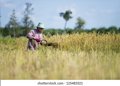rice farmer in thailand working in the fields