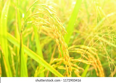 Rice from the farmer's output. Seasonal crop
