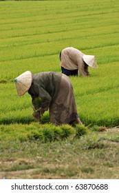 Rice farmers in Vientiane, Laos