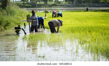 The rice farmers who did not identify on their field on in, Thailand. This work is part of the Thailand farmers
