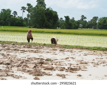 RICE FARMING, CAMBODIA-JULY 12, 2015: Rice farming is a main agricultural in Cambodia. Farmers are planting rice in the rainy season on July 12, 2015. Rice is produced for 15 million Cambodians year.