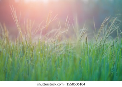 Rice farm,Rice field,Rice paddy, rice pants,Bokeh dew drops on the top of the rice fields in the morning sun,along with the rice fields that emphasize the soft background.