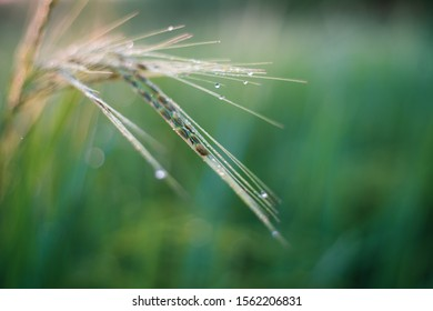 Rice farm,Rice field,Rice paddy, rice pants,Bokeh dew drops on the top of the rice fields in the morning sun,along with the rice fields that emphasize the soft background.shallow focus effect.